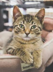 "Baby Male Cat - Domestic Short Hair-Tabby - Brown: ""Casey"""