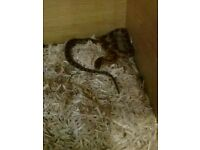 cornsnake with complete set up & Extras