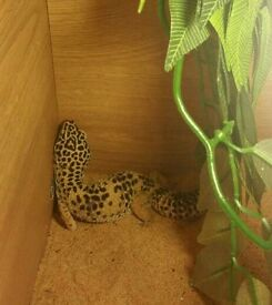 Leopard gecko + full set up
