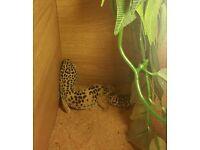 Leopard gecko + full set up
