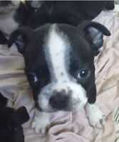 One female and one male Boston cuties left