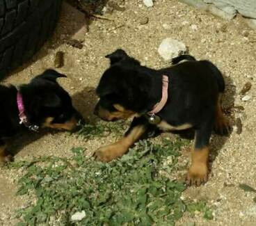 Kelpie Puppies for sale