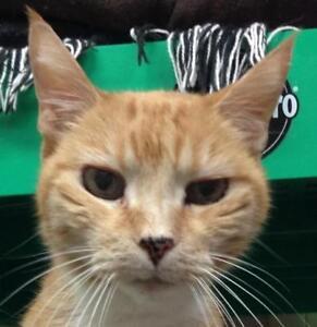 """Senior Female Cat - Tabby (Orange): """"Ginger"""""""