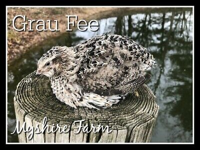 25 Rare Grau Fee Coturnix Quail Hatching Eggs By Myshire The Newest Color