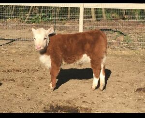 Miniature hereford bull calf