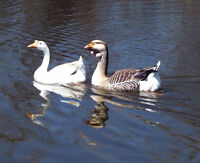 2 geese