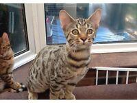 Male Bengal cross kittens
