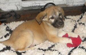 Plush Coat German Shepherd Pups