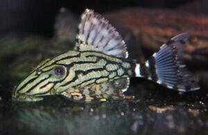 L018 Wild Pleco Salt Water Fish Discus Cichlids Arowana Flowerho