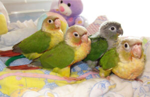 BEBE PINEAPPLE X CINNAMON CONURE HANDFED 11 WEEKS OLD & READY :)
