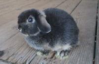 Netherland /Holland Baby Bunny