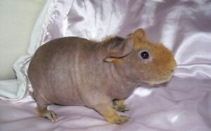 Guinea / skinny pig for adoption