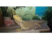 Female citrus tiger Bearded dragon