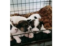 BEAUTIFUL, TINY JACK RUSSELL PUPPYS
