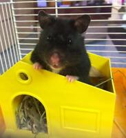"Adult Female Small & Furry - Hamster: ""Tonya"""