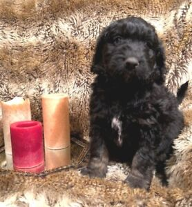 Christmas Bernedoodle pups for sale - only 2 tricolor males left