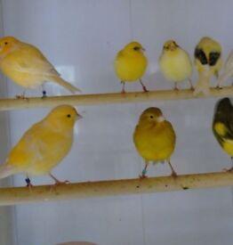 pairs canary's