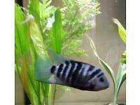 *** SOLD *** Convict Chiclid Adult Male & Babies