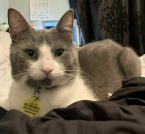 Junior - Affectionate Male Grey & White Cat