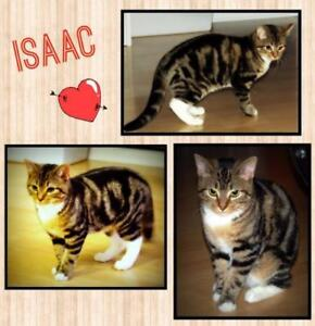 "Young Male Cat - Domestic Short Hair: ""Isaac"""