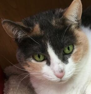 "Adult Female Cat - Dilute Calico: ""Anais"""