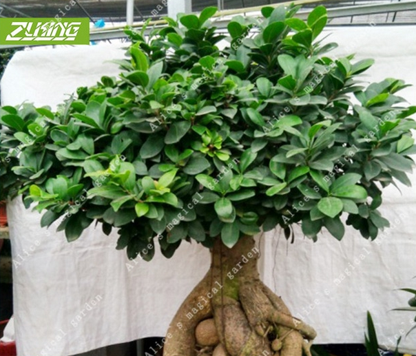 50 PCS Seeds Ficus Lyrata Bonsai Banyan Tree Leaf Plants Free Shipping 2019 New