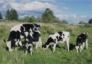 Two Purebred Holstein Heifers and Holstein Bull !!!