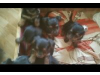 5 chihuahua/yorkie pups wanting loving home