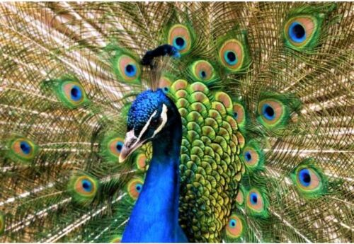 1 FRESH Pure India Blue Peacock Peafowl Hatching egg, fertilized ~ship daily ~