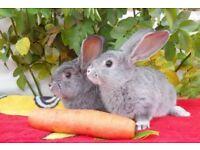 continental giant rabbit girl