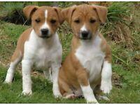 Plummer terrier cross patterdale