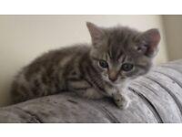 13 week old beautiful kitten