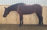 Warmblood Cross Mare for Sale
