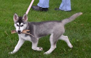 Gorgeous Siberian Husky Puppies CKC Reg.