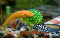 Golden Chinese Algae Eater. For big aquariums only