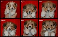 Quality Sheltie (Shetland Sheepdog) Puppies available CKC Reg'd