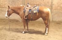 11 YEAR OLD--15.1 HAND--VERY WELL BROKE RANCH MARE