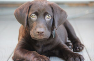 Purebred Chocolate Lab Puppy-Registered with papers
