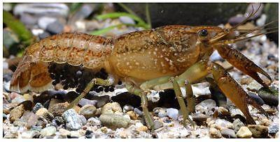 Self Cloning Marmorkreb Crayfish - small species aquarium fish reproduce singly
