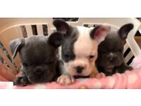 Ready this weekend - beautiful French bulldog puppies