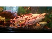 Fish (Catfish)