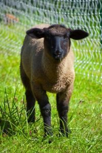 Looking for weaned Suffolk lambs!