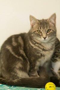 "Young Female Cat - Domestic Short Hair: ""Chyler"""
