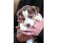 Short legged Jack Russell pups for sale