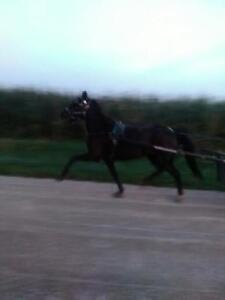 4 Year Old Welsh Pony Mare