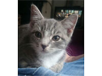 *Beautiful female cat for sale*