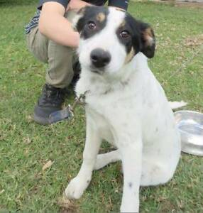 BORDER COLLIE PUP Maitland Maitland Area Preview