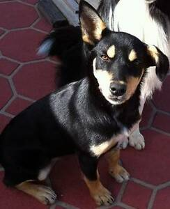 7 Month old Australian Kelpie free to good home Canley Heights Fairfield Area Preview