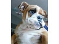 kc British bulldog