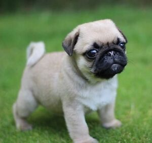 Looking for a female pug puppy!